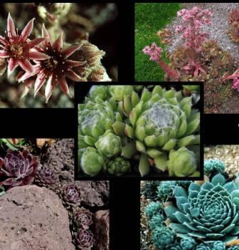 Flori de gradina perene Sempervivum spp