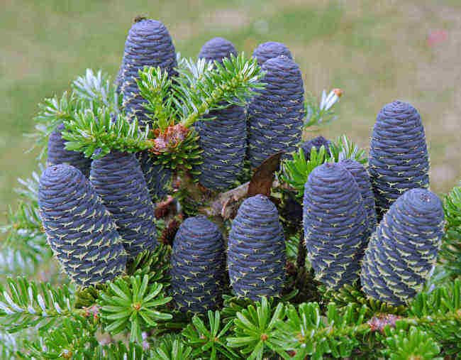 Arbori rasinosi ABIES KOREANA (brad corean)