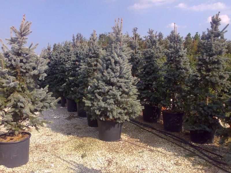 i Picea pungens Hoopsii /Molid argintiu