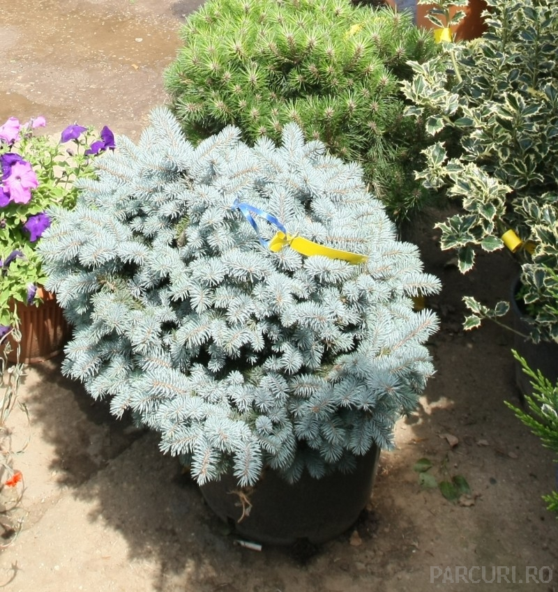 Arbusti rasinosi Picea pungens `Glauca Globosa `