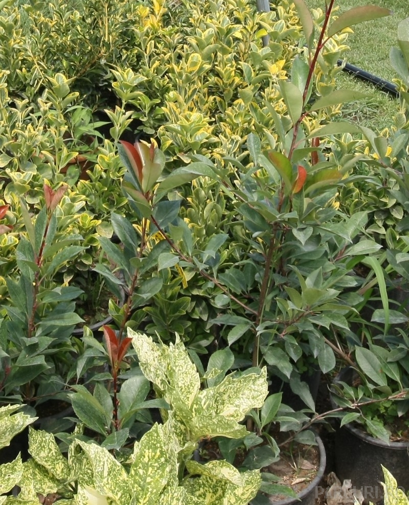 Arbusti gradina frunze semipersistente PHOTINIA FRASERII RED ROBIN