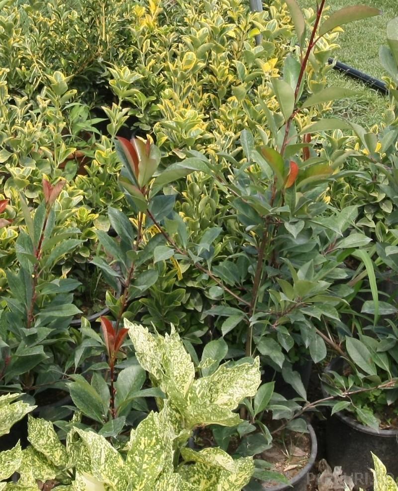 Arbusti de gradina PHOTINIA FRASERII RED ROBIN ghiveci 5-7 litri, h=60-80 cm pt garduri vii