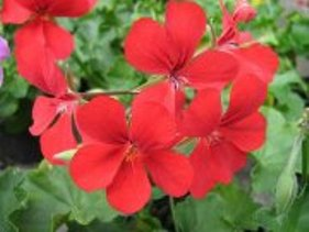 Plante de balcon muscate curgatoare rosii cu floare simpla  `Pelargonium peltatum Cascade`ghiveci 12cm