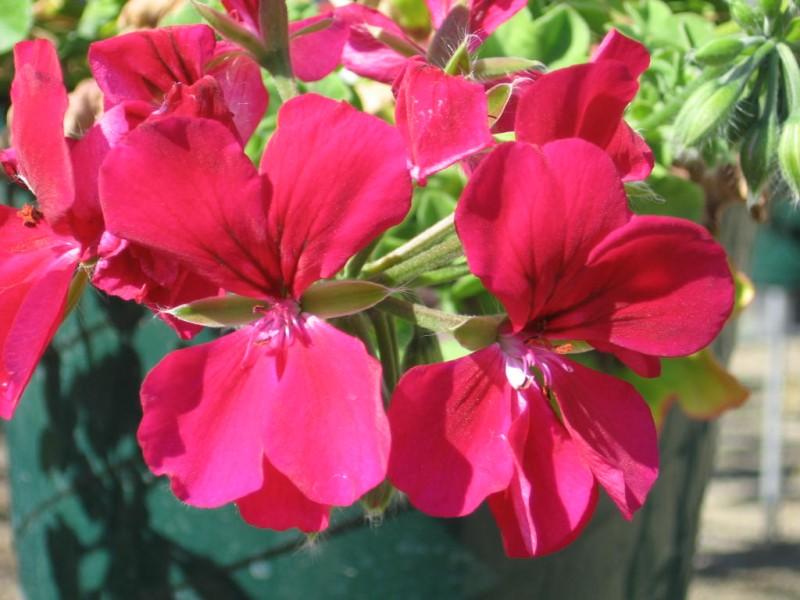 Plante de balcon muscate curgatoare cu floare dubla  (Pelargonium peltatum alb Royal Ice)
