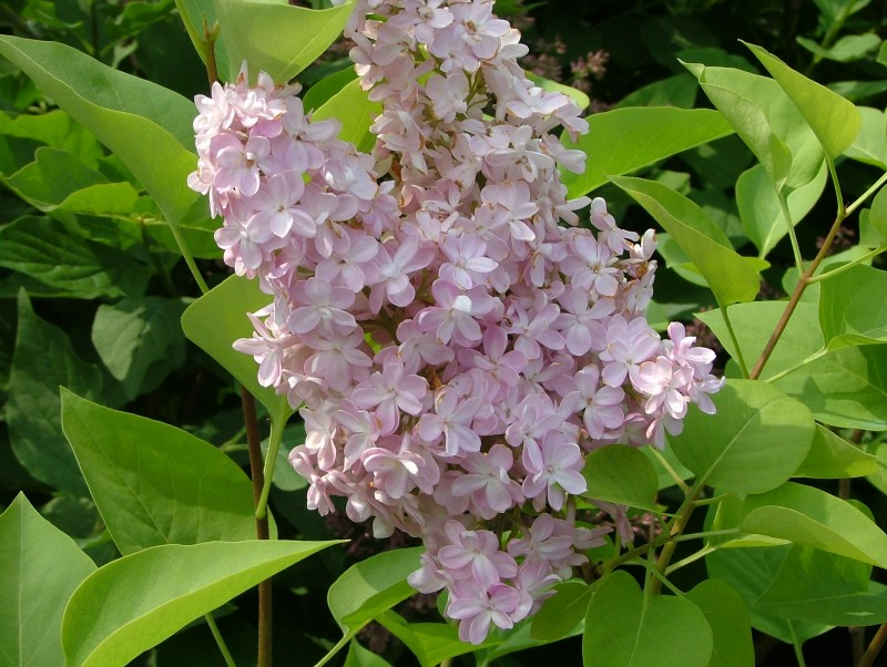 Liliac parfumat cu flori simple Syringa vulgaris `Belle de Nancy`