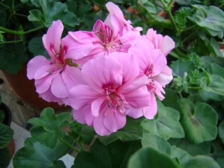 Plante de balcon muscate curgatoare cu floare dubla  (Pelargonium peltatum rosu Royal Fire)