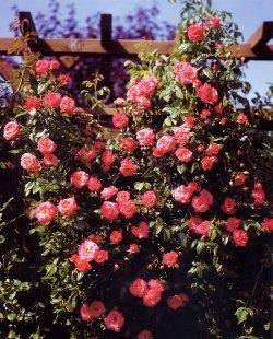 Trandafiri de gradina urcatori h=1.5-2 m, cu flori parfumate, la ghiveci