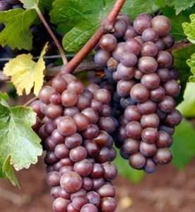 poza NOU! Butasi vita de vie, soiul `Pinot Gris`