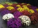 Flori  de gradina anuale