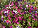 Flori curgatoare de balcon