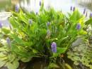 Plante acvatice pt iazuri