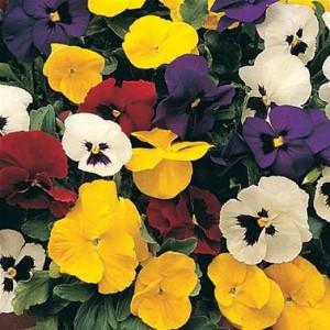 poza Flori bienale: Viola witrokiana /Panselute. Flori de gradina in ghivece de 9 cm