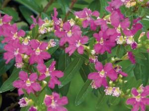 poza Cuphea hyssopifolia (cuphea) ghiv. 9 cm