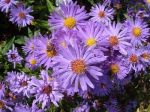 poza Flori de gradina perene Aster alpinus Happy End, floare roz