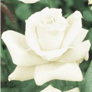 poza Trandafiri butasi de gradina Virgo cu radacina in ghivece de 3.5 litri