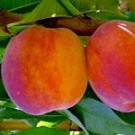poza Piersic soiul Cardinal la ghiveci. Pomi puieti fructiferi altoiti.
