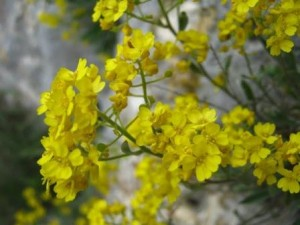 poza Flori de gradina perene CIUCUSOARA/ALYSSUM SAXATILE