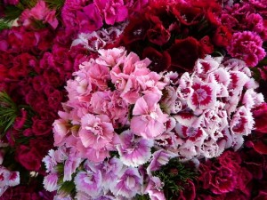 poza Flori de gradina bienale Dianthus barbathus / Garoafa turceasca. Flori la ghiveci de 10.5 cm.