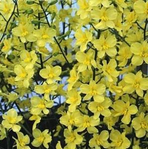 poza Flori de gradina perene Delphinium nudicaule semibarbatum