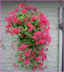 Plante de balcon muscate curgatoare cu floare simpla
