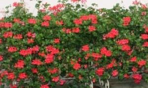 Plante de balcon muscate curgatoare cu floare simpla (Pelargonium peltatum V D P