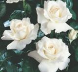poza Trandafiri de gradina Polyantha White butasi inradacinati in ghiveci de 3.5 l