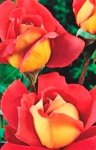 poza Trandafiri de gradina Kronenburg, tufa formata cu radacina in ghivece de 3.5 litri