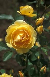 poza Trandafiri englezesti de gradina Graham Thomas butas cu radacini in ghiveci de 3.5 litri