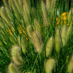 poza Ierburi graminee Pennisetum alopecuroides, la ghiveci de 1 litru