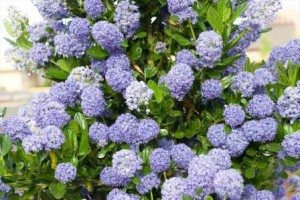 poza Arbust tarator de gradina cu flori CEANOTHUS THYRSYFLORUS REPENS BLUE ghiveci 3-4 litri diam.= 30 cm