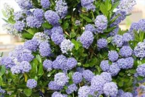 poza Arbust cu flori albastre de gradina CEANOTHUS THYRSIFLORUS BLUEla ghiveci de 5-7 litri h=50cm