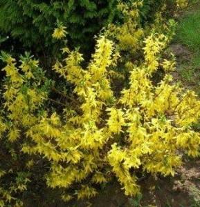 poza Arbusti cu flori FORSYTHIAMINI GOLDghiveci 3-4 litri, h=60-80cm