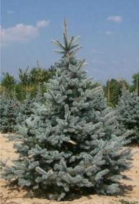 Poza Arbori rasinosi Picea pungens Hoopsii