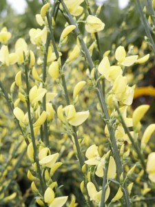 poza Arbusti cu flori CYTISUS ghiveci 3-4 litri h=30-40cm