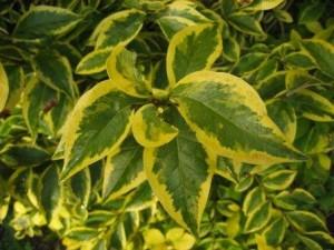poza Arbusti de gradina Ligustrum ovalifolium (lemn cainesc) ghiveci 3-4 litri pentru garduri vii
