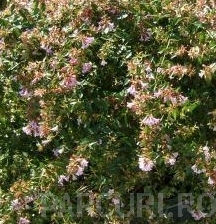 poza Arbusti parfumati de gradina ABELIA GRANDIFLORA, ghiveci 3-4 litri, h=30cm