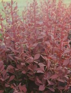 poza Arbusti cu frunze rosii pentru garduri vii BERBERIS OTTAWENSIS la ghiveci 3-4 litri, h=40cm.