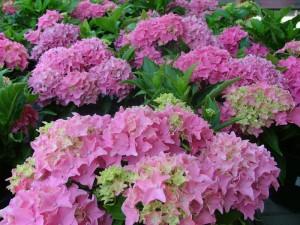 poza Arbusti gradina Hortensia/ HYDRANGEA MACROPHYLLA h=30 cm , ghiveci 3-4 litri