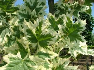 poza Arbori foiosi ACER PLATANOIDES DRUMMONDII 14/16 circumf. trunchi (90 litri)