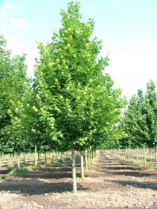 poza Arbori foiosi ACER PLATANOIDES EMERALD QUEEN 14/16 circumf. trunchi (90 litri)