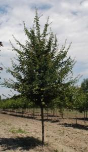 poza Arbori foiosi ACER CAMPESTRE ELSRIJK 10/12 circumf. trunchi (50 litri)