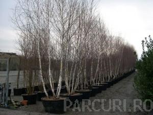 poza Arbori foiosi BETULA PENDULA / Mesteacan multitrunchi 400-450 (110 litri)