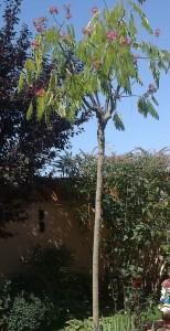 poza Arbori foiosi ALBITIA JULIBRISSIN OMBRELLA /Albitie 10/12 circumf. trunchi (50 litri)