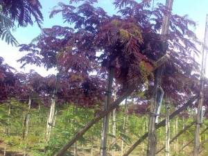 Arbori foiosi ALBIZIA `SUMMER CHOCOLATE