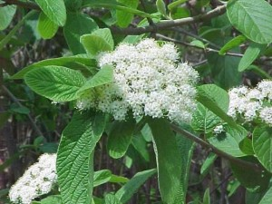 poza Arbusti foiosi evergreen VIBURNUM RHYTIDOFYLLUM ghiveci 5-7 litri, h=50-60cm