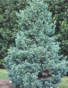 poza Arbusti rasinosi CHAMAECYPARIS PISIFERA BOULEVARD ghiveci de 7 litri, 40-60 cm