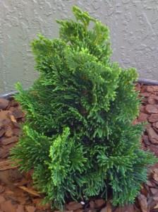 poza Arbusti rasinosi CHAMAECYPARIS OBTUSA NANA GRACILIS ghiveci de 7 litri, h=25-30 cm