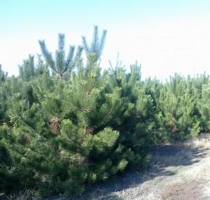 poza Arbori rasinosi PINUS NIGRA AUSTRIACA / PIN NEGRU ghiveci 110 litri, h= 200-250