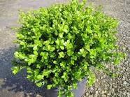 poza Arbusti evergreen BUXUS MICROPHYLA FAULKNERghiveci 5 litri, h=20-25cm
