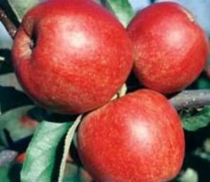 poza Meri soiul Jonagold. Puieti pomi fructiferi altoiti.